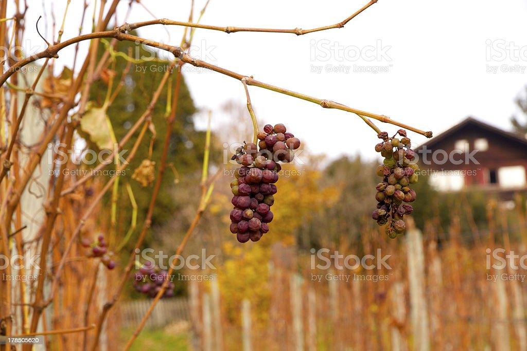 Winter grapes at vineyard royalty-free stock photo
