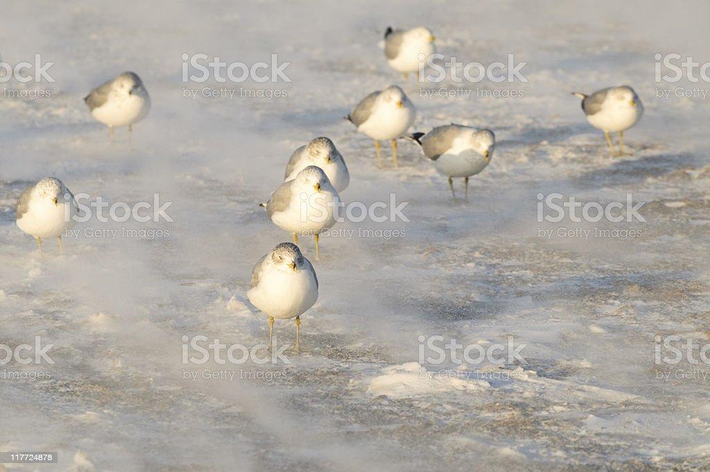 Winter Gulls stock photo
