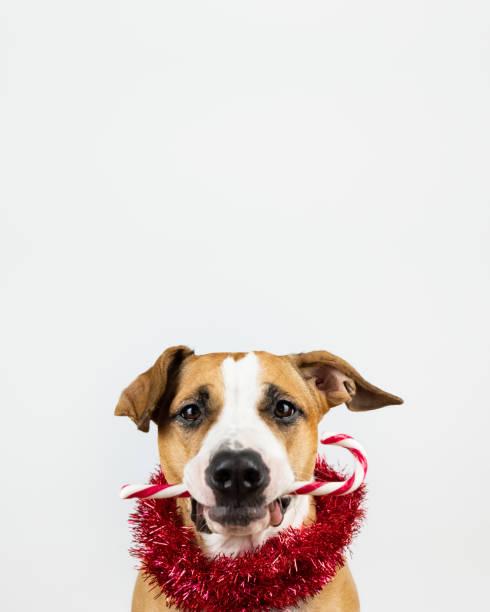winter urlaub konzept: hund hält eine zuckerstange in mund - weihnachtsideen stock-fotos und bilder