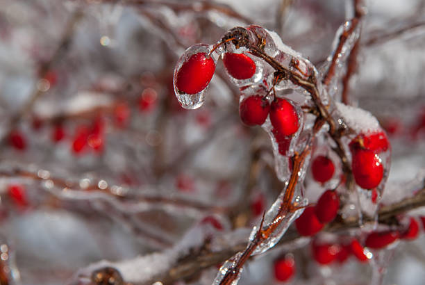 Winter Holly Berries Frozen in ice and snow stock photo
