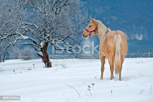 American Quarter Horse standing in the snow, tree in background
