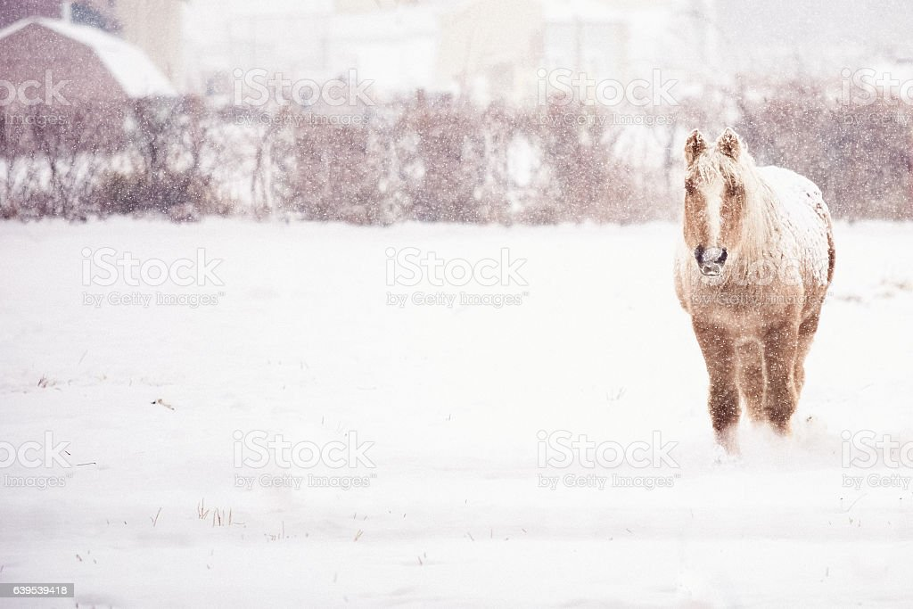 Winter Horse Standing In Snow Storm stock photo