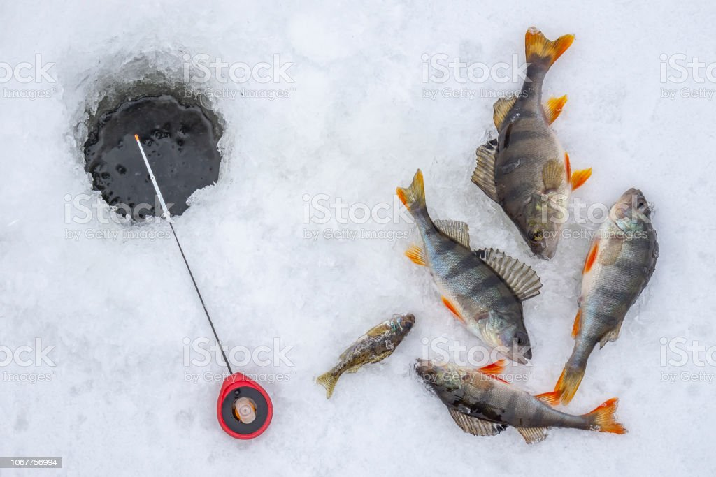 Winter Ice Fishing Concept Perch Fish And Tackle Lies On