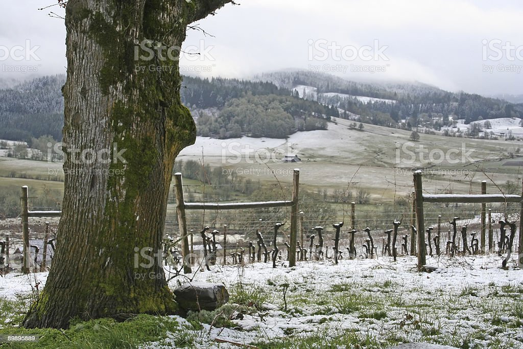Winter in the Vineyard royalty-free stock photo