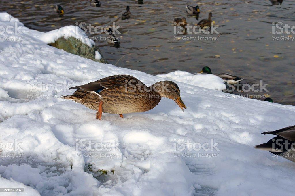 winter lake with ducks stock photo