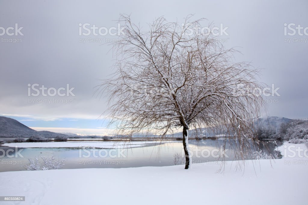 Winter landscape background with snowy tree, lake and snow, Cerknica lake, Slovenia stock photo