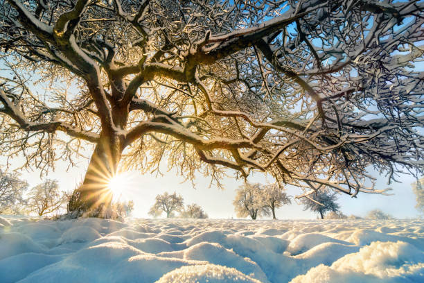 Winter landscape: backlit tree on a field stock photo