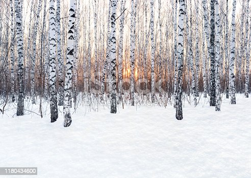 istock Winter landscape. Birch forest at sunset. Freshly clean snow 1180434600