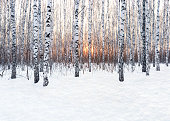 Winter landscape. Birch forest at sunset. Fresh, clean snow falling in frosty weather