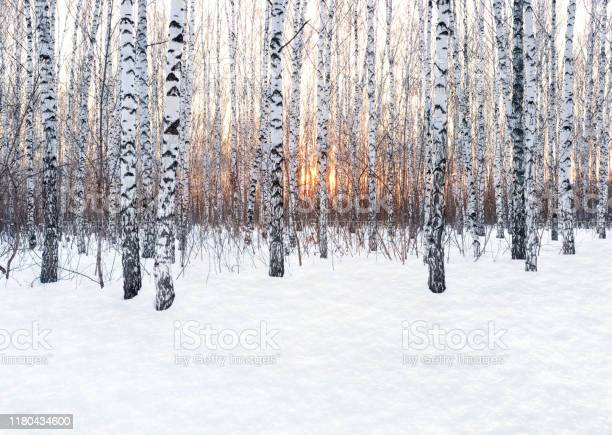 Photo of Winter landscape. Birch forest at sunset. Freshly clean snow