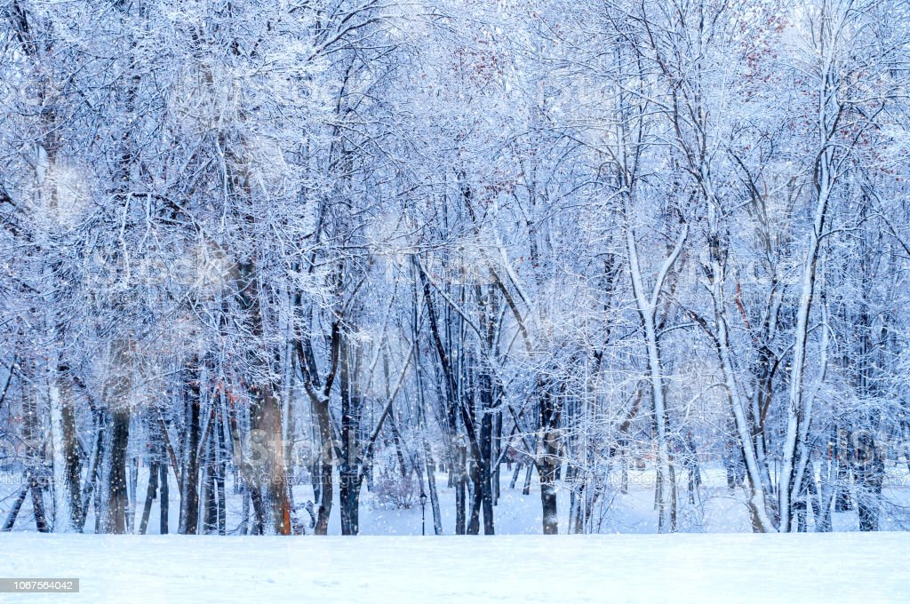 Winter landscape - frosty trees in winter forest in cold weather....