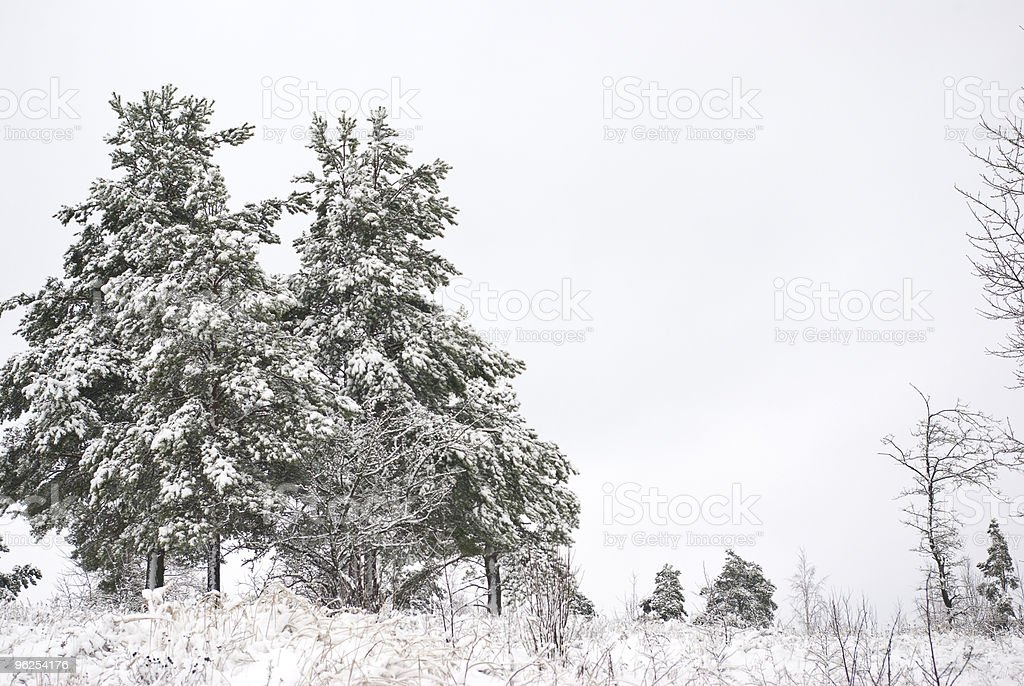 Winter landscape. Fur-trees grow. Fresh snow lies thick layer. - Royalty-free Beauty In Nature Stock Photo