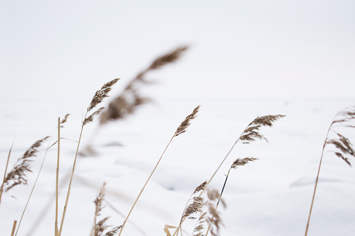 Winter landscape. Gulf of finland. Weeds of grass in snow. Russian nature.