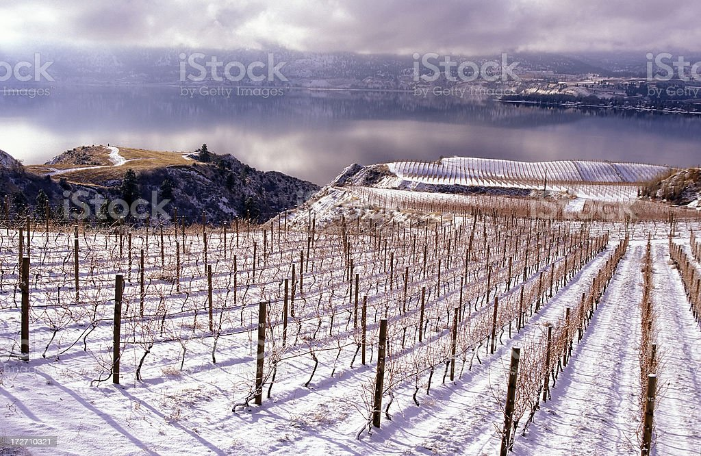 Winter landscape of a vineyard in Okanagan valley stock photo