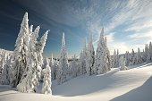 Spruce trees covered with snow on a mountain slope