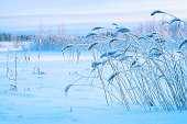 Winter landscape with snow-covered reed