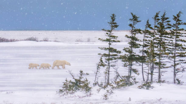 winter landscape scene on a snowy day in the canadian north, as a mother polar bear (ursus maritimus) leads her two cubs through blowing snow. - tundra imagens e fotografias de stock