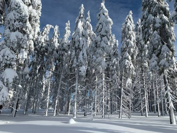 Cтоковое фото Winter landscape. Snow covered coniferous forest with blue sky