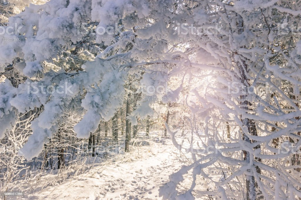 Winter landscape. Snowy nature. Snow-covered forest. Christmas...