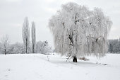 Winter landscape. Willow tree covered with hoarfrost and snow. The Ros River is covered in ice. Ukraine.