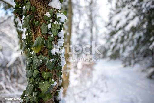 istock Winter landscape, winter forest trees covered with frost and snow 1305046088