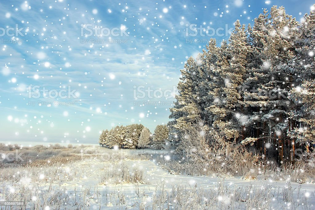Winter landscape with pine trees and falling snow. stock photo