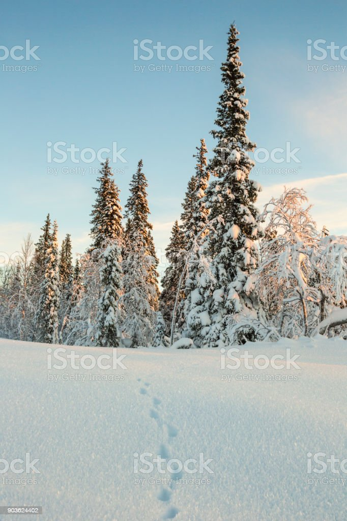 Winter landscape with rabbit tracks in the snow stock photo
