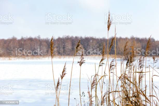 Photo of Winter landscape with reeds and falling snow.