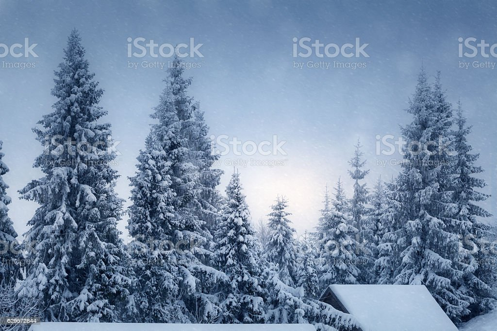 Winter landscape with snow covered fir trees stock photo