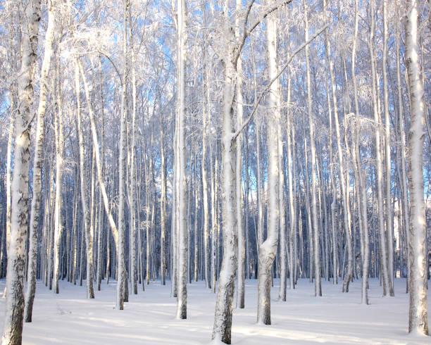 Winter landscape with snowy birch trees – Foto