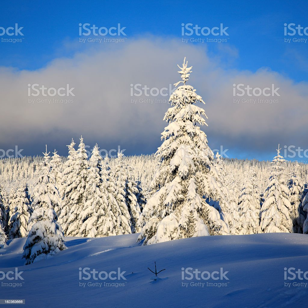 Winter Landscape with spruce tree forest covered by snow royalty-free stock photo