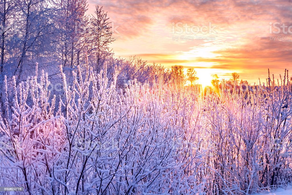 winter landscape with sunset and forest. trees winter covered with snow in rays of sunset. stock photo