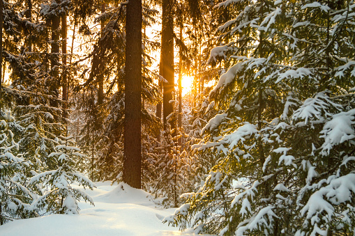 winter landscape with the forest and sunset