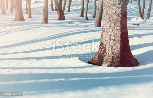 Winter landscape, wonderland winter forest, bare trees and snowdrifts on the foreground. Winter forest sunny scene