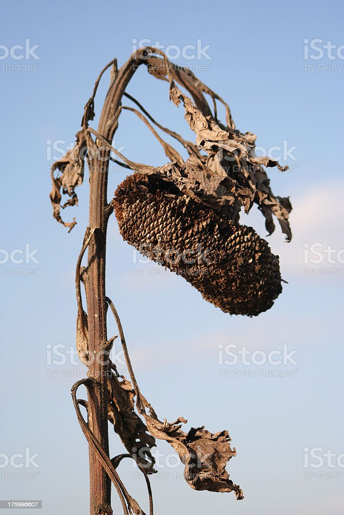 Winter Leftovers royalty-free stock photo