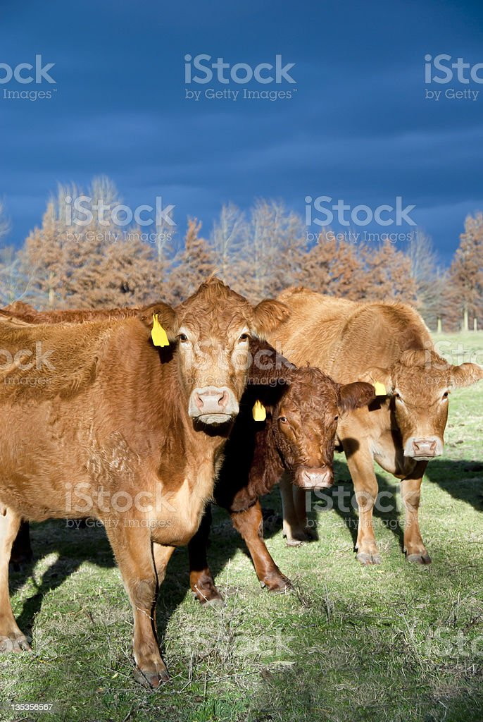 Winter Limousin Cattle stock photo