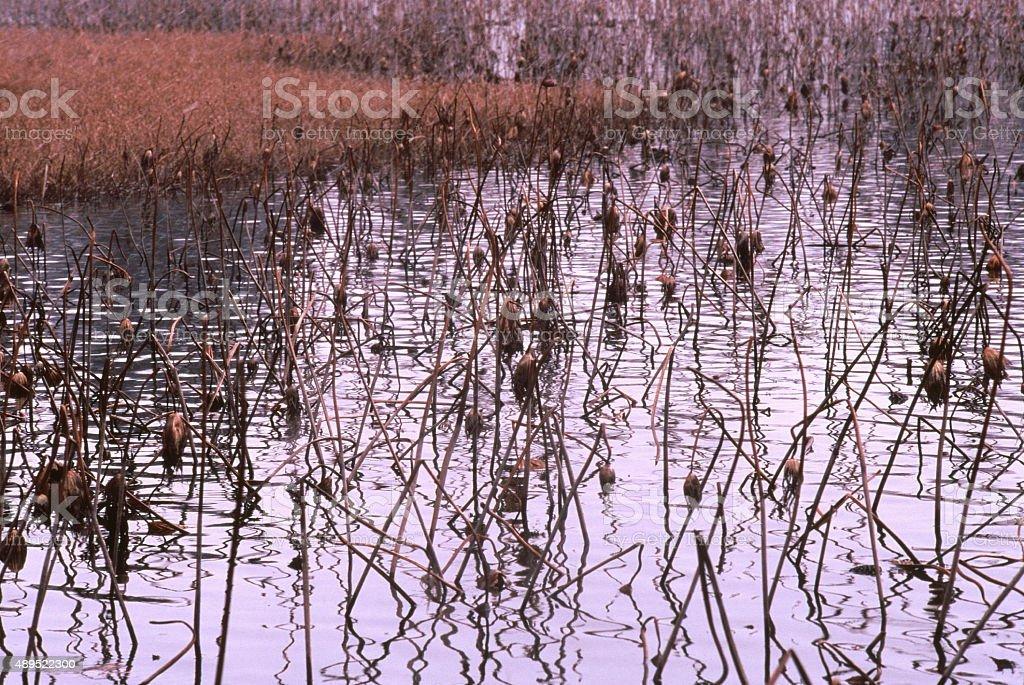 冬のハス池 ストックフォト