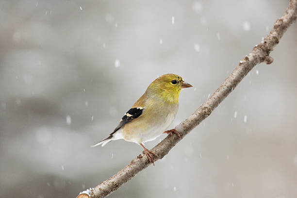 Winter Male American Goldfinch Looking Right Male American Goldfinch on perch with falling snow american goldfinch stock pictures, royalty-free photos & images