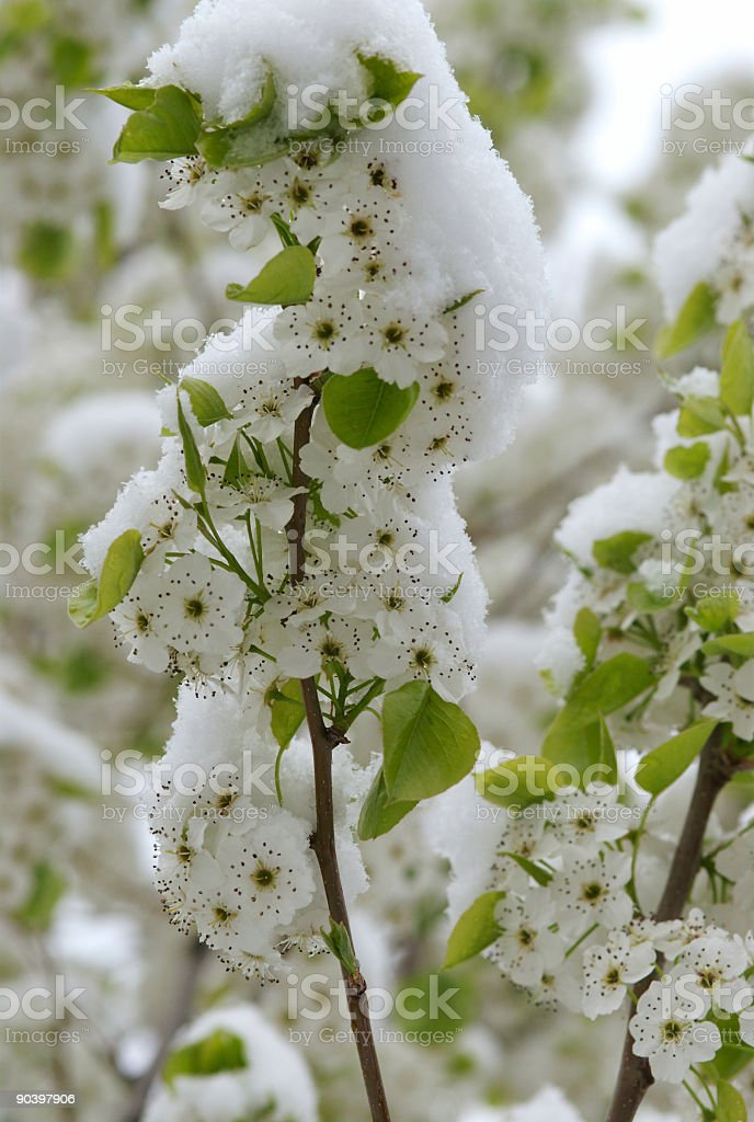 Winter meets Spring 2 royalty-free stock photo