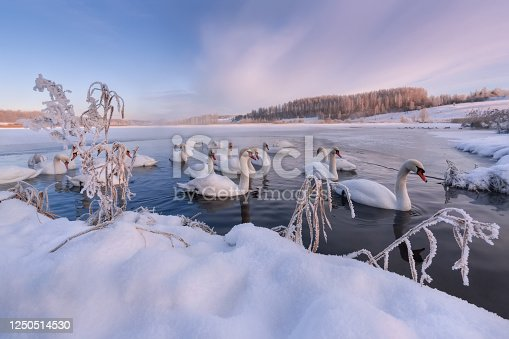 Winter Morning On Swan Lake In Vicinity Of Izborsk.Gorodishchenskoe Lake In Izborsk-Malsky Valley,Pskov Region.Flock Of Wintering Mute Swans Swims In Big Ice Soaring Hole.Landscape With Birds.Russia