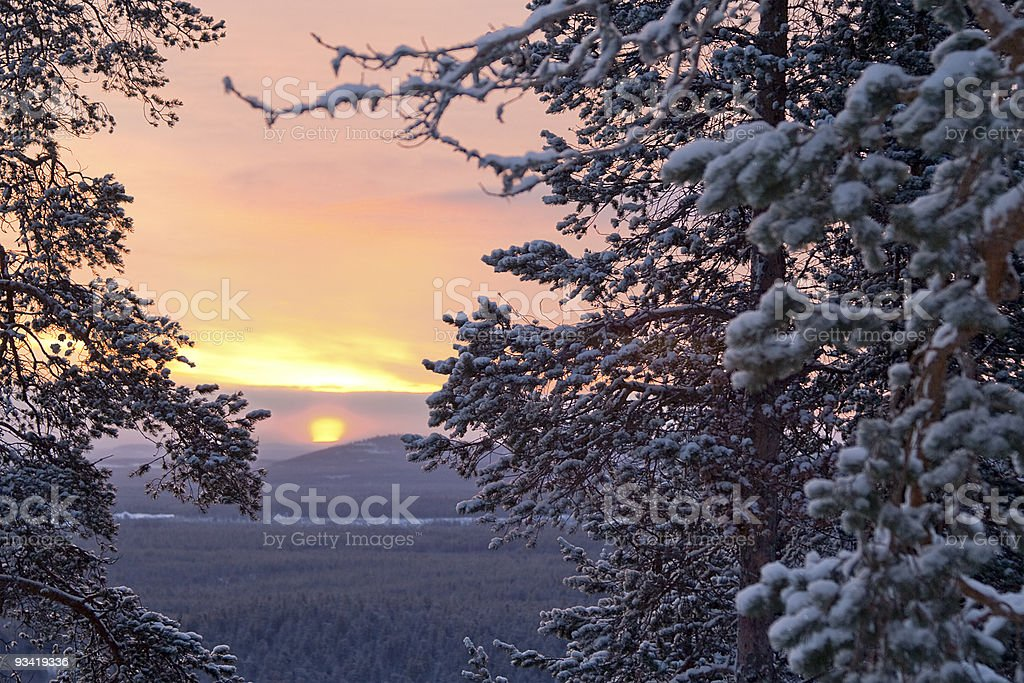 Winter morning /  pine, sunlight and snow royalty-free stock photo