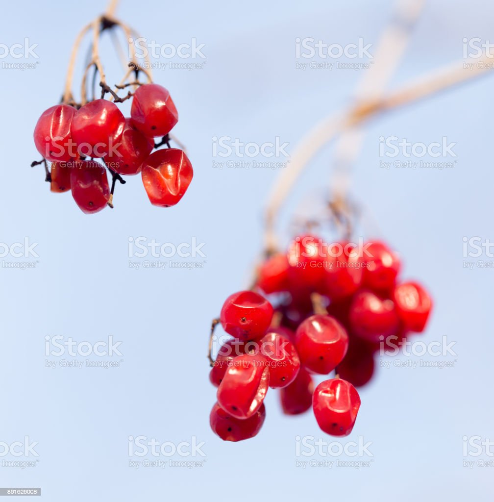 Winter mountain ash on a background of the sky in clear day stock photo