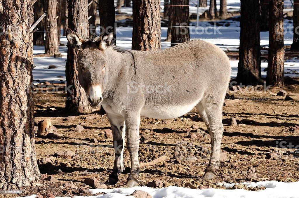 winter mule royalty-free stock photo