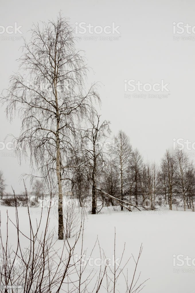 Winter naked birches in the white meadow covered snow royalty-free stock photo