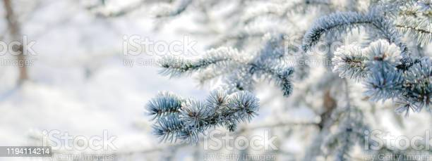 Winter nature background evergreen trees in hoarfrost spruce and fir picture id1194114214?b=1&k=6&m=1194114214&s=612x612&h=ixlrkmek9ib4trkcvcdy eokldhgjzlczyg6yonkmcu=