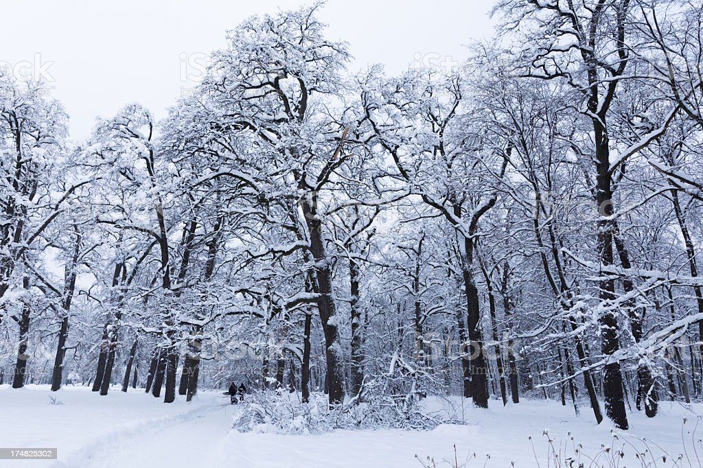 Winter oak forest royalty-free stock photo