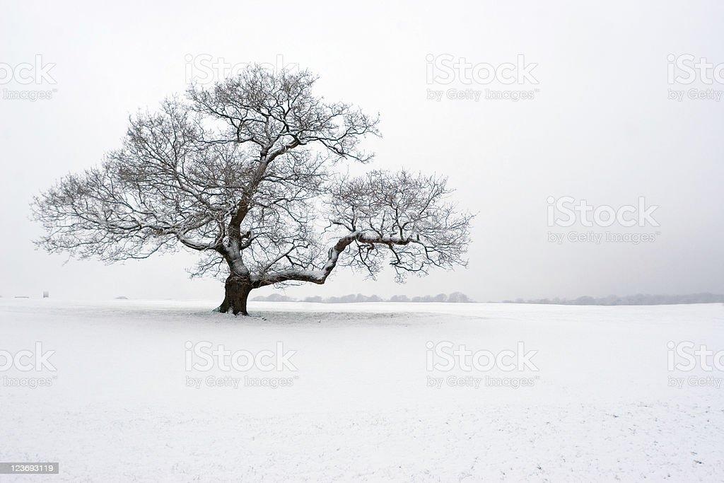 Winter Oak In The Snow stock photo