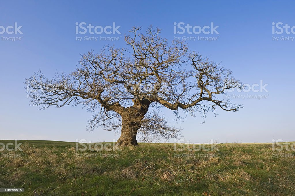 Winter Oak royalty-free stock photo