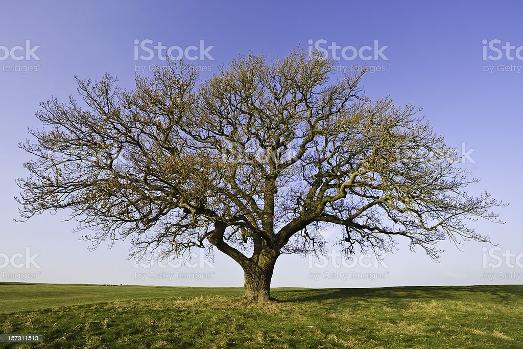 Winter Oak royalty-free stock photo