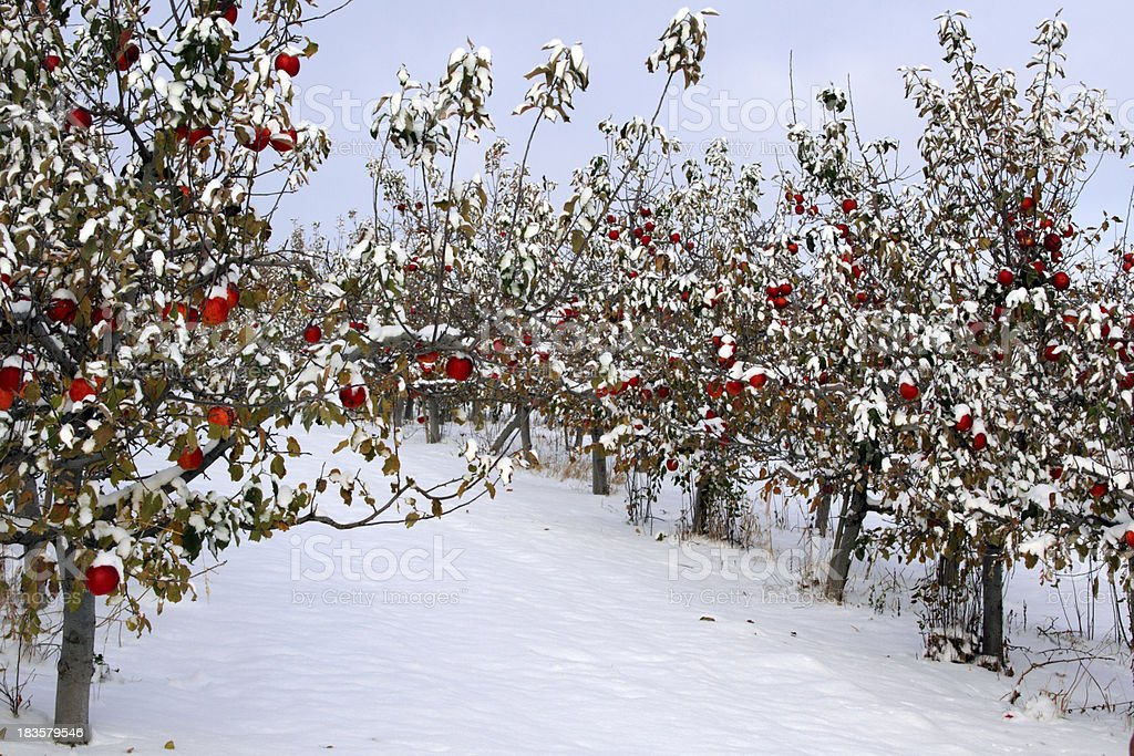 Winter Orchard Stock Photo - Download Image Now - iStock